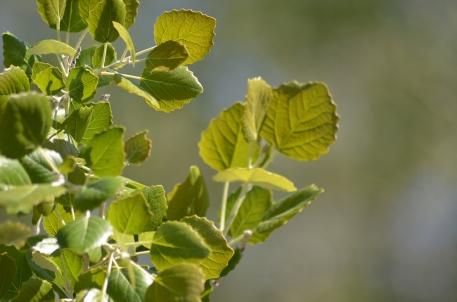 Vegetació Potencial. Populus canescens